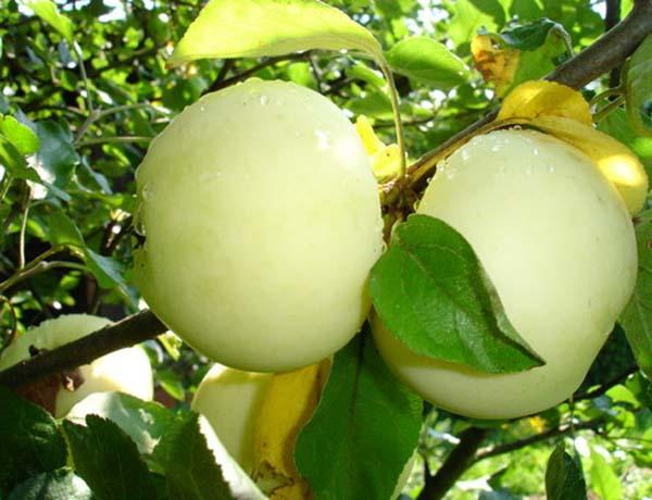Сорт яблони: Уральский сувенир