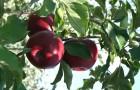 Сорт яблони: Успенское