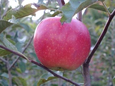 Сорт яблони: Вадимовка