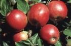 Сорт яблони: Вагнер (Вагнера призовое)