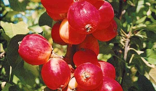 Сорт яблони: Веселовка