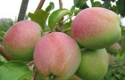 Сорт яблони: Ветеран