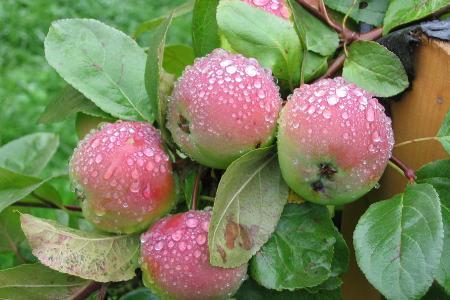 Сорт яблони: Вишневая