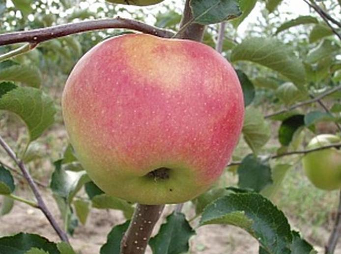 Сорт яблони: Вита