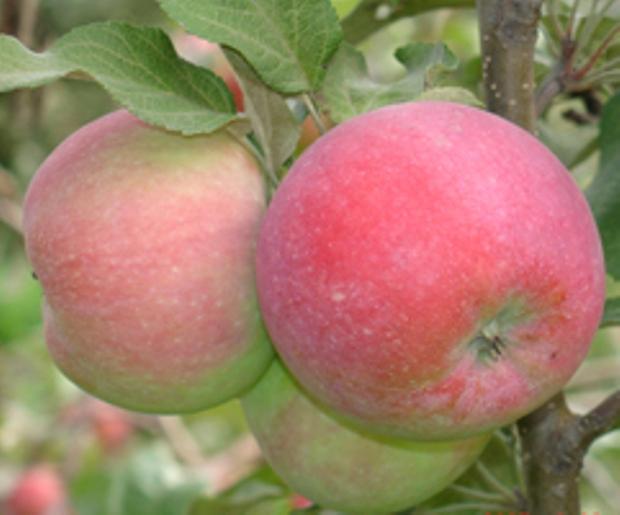 Сорт яблони: Восход Кубани