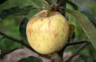 Сорт яблони: Яблочный спас