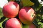 Сорт яблони: Яндыковское