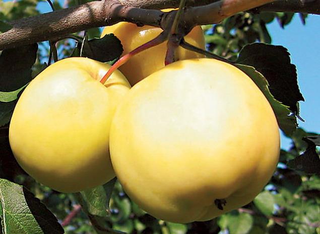 Сорт яблони: Янтарь