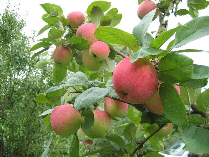 Сорт яблони: Юбиляр