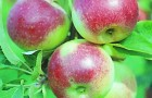 Сорт яблони: Юный натуралист