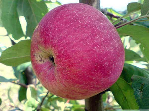 Сорт яблони: Южное