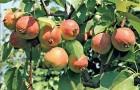 Сорт яблони: Жар птица