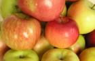 Сорт яблони: Желанное