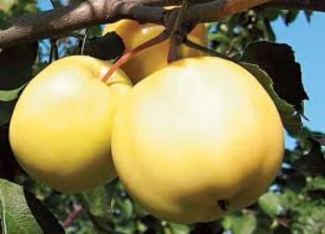Сорт яблони: Желтое ребристое