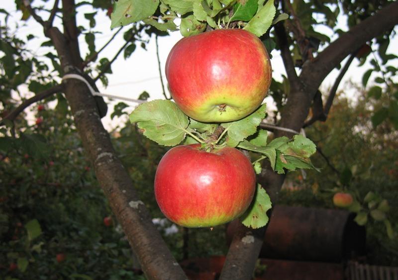 Сорт яблони: Жигулевское