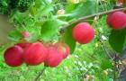 Сорт яблони: Живинка