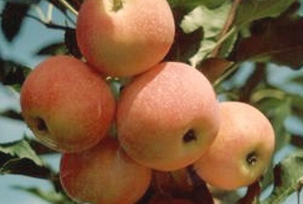 Сорт яблони: Зарево
