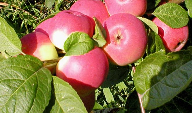 Сорт яблони: Заветное