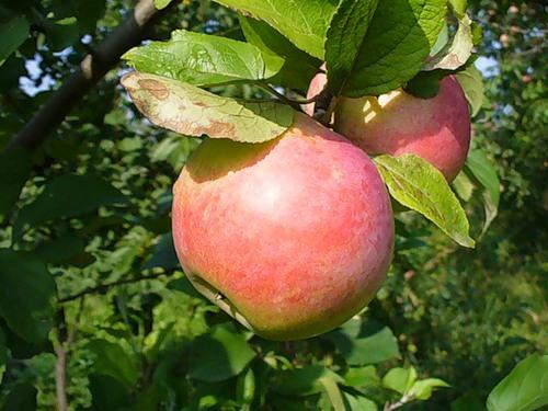 Сорт яблони: Здоровье