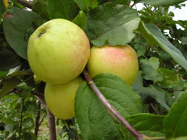 Сорт яблони: Зеленка сочная