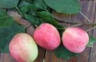 Сорт яблони: Зимнее полосатое