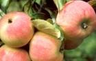 Сорт яблони: Зимний шафран