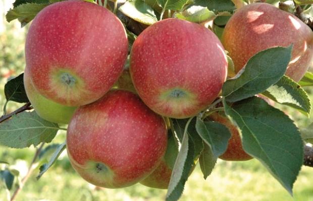 Сорт яблони: Звездное