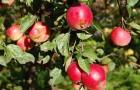 Сорт яблони: Звездочка