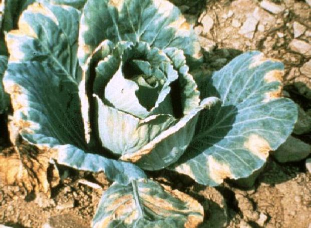 Сухая гниль, или фомоз капусты
