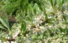 Вишня кустарниковая