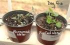 Вода из микроволновки убивает растения