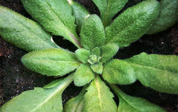 растения Arabidopsis (резухови́дка)