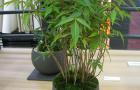 Бамбук, бонсай