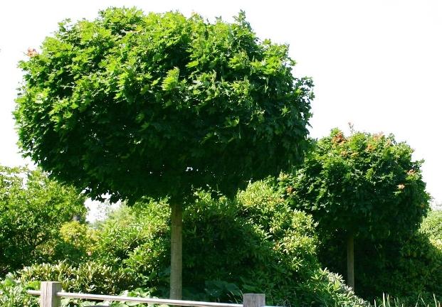 Обрезка деревьев с декоративной листвой