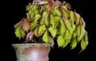 Девичий виноград, бонсай