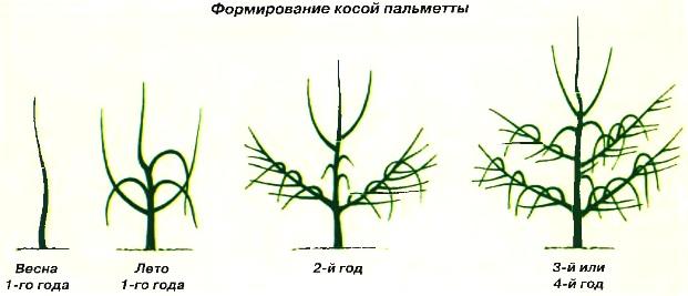 Формирование косой пальметты