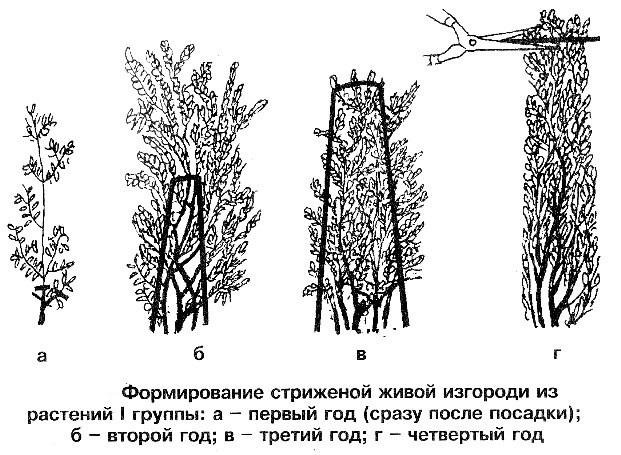 Формирование живой изгороди