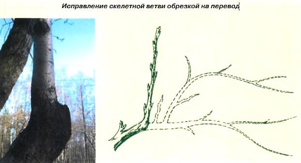 Исправление скелетной ветви обрезкой на перевод