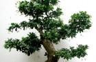 Кармона, бонсай (Чайное дерево)