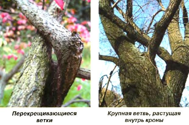 Крупная ветвь, растущая  внутрь кроны