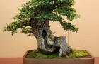 Маслина европейская, бонсай (Оливковое дерево)