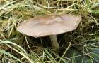 Меланолеука коротконожковая