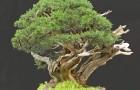 Можжевельник китайский, бонсай