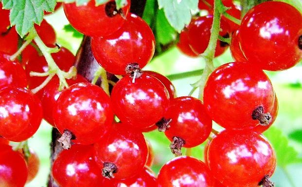 Обрезка красной и белой смородины
