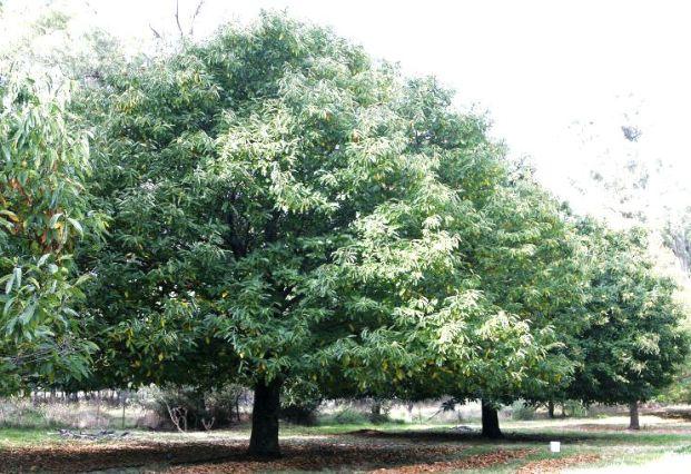 Обрезка лиственных деревьев