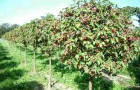 Обрезка плодоносящих яблонь и груш