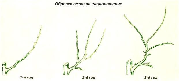 Обрезка ветки на плодоношение