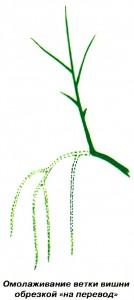 Омолаживание ветки вишеи обрезкой «на перевод»