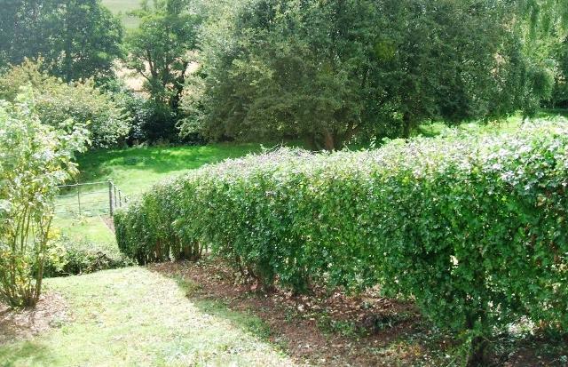 Омолаживание живой изгороди
