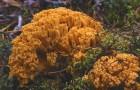 Рамария желтая